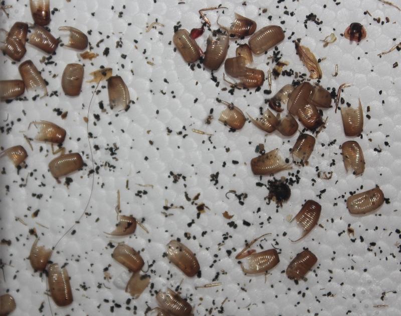 German Cockroach Ootheca
